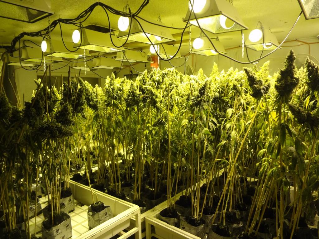 Конопля на гидропонике фото выращивание конопли по технологии