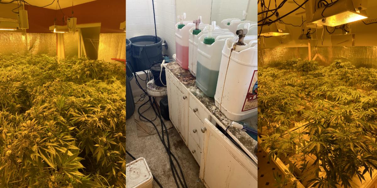 Victorville MET deputies served 6 search warrants at illegal marijuana cultivation sites;1900 lbs of marijuana seized
