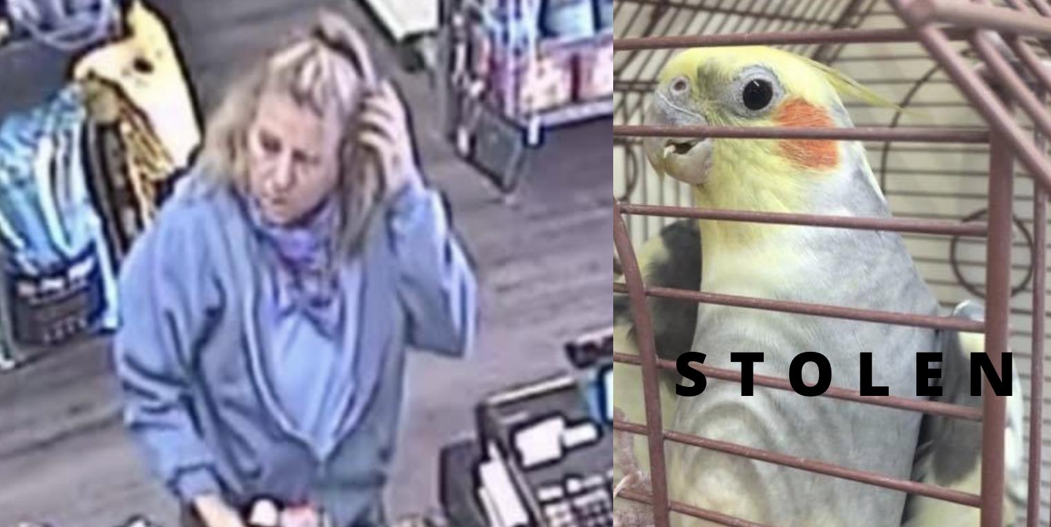 Apple Valley Feed Bin's personal pet cockatiel of 10 years was stolen. (Photo courtesy of Apple Valley Feed Bin)